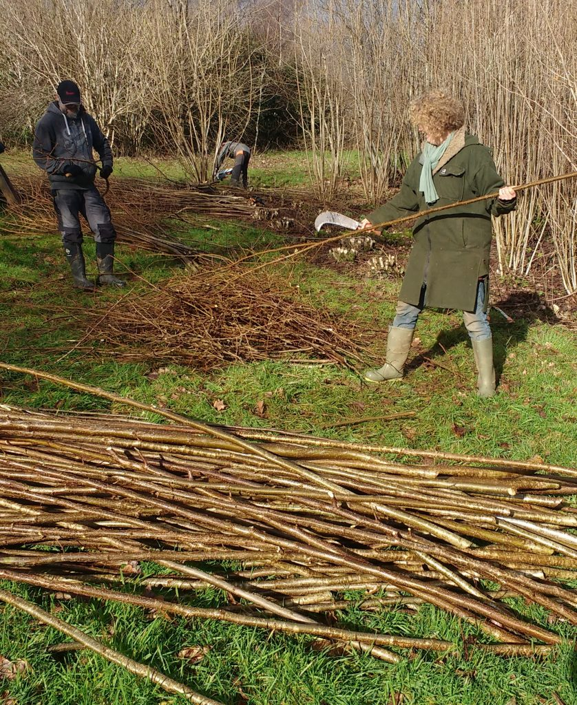 Coppicing hazel.