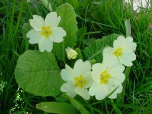 Primroses at Pentiddy.