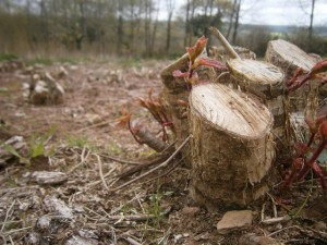 Hazel Coppice stool sprouting.